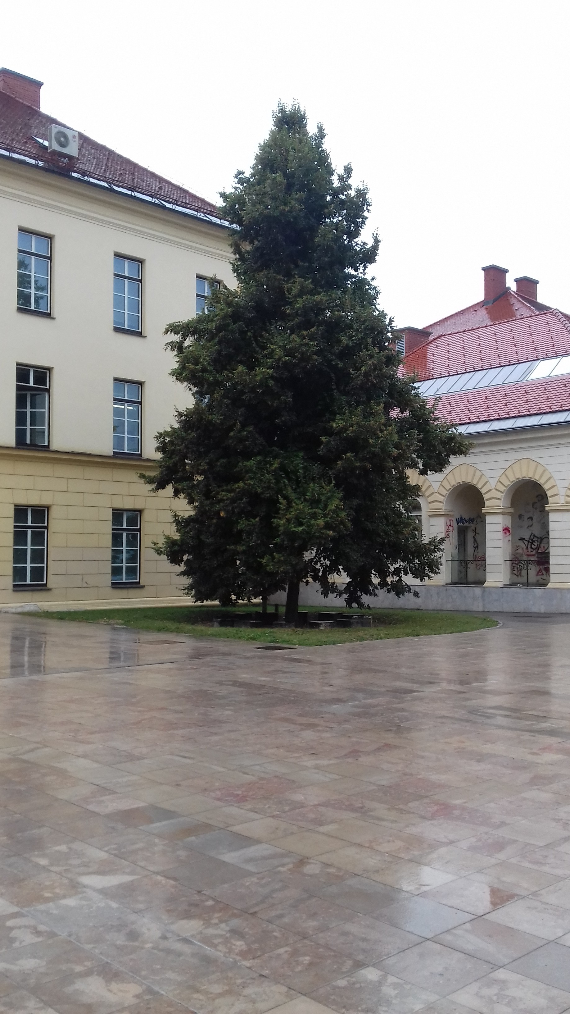 Ceremonial linden-tree in the courtyard of the Peace Institute, Metelkova 6, Ljubljana.